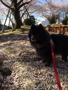 4月5日の桜.JPG