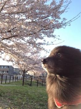 桜と虎鉄3.jpg