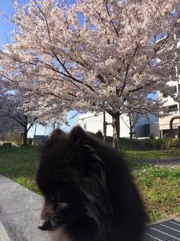 桜と虎鉄7.jpg